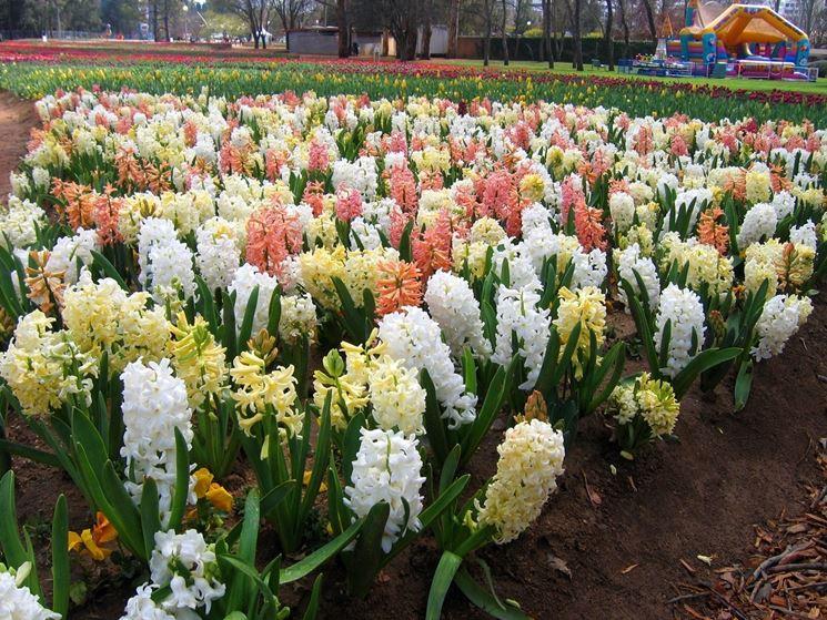 Un campo di giacinti fioriti di vari colori