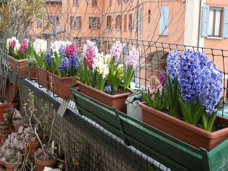 Esemplari di giacinto in vaso su un balcone