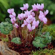 Cyclamen hederifolium selvatici