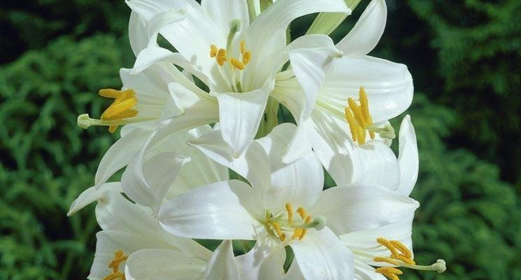 Lilium candidum, noto come