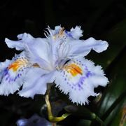 Il bellissimo fiore dell'iris japonica