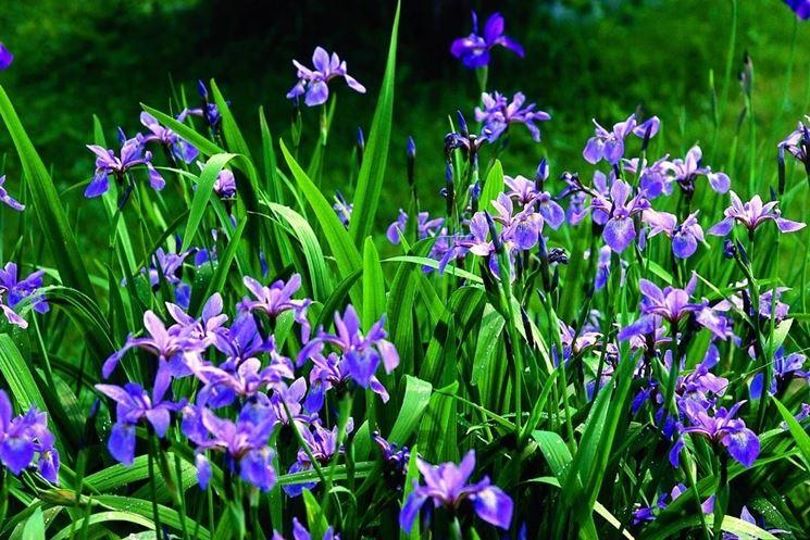 Una pianta di iris comune