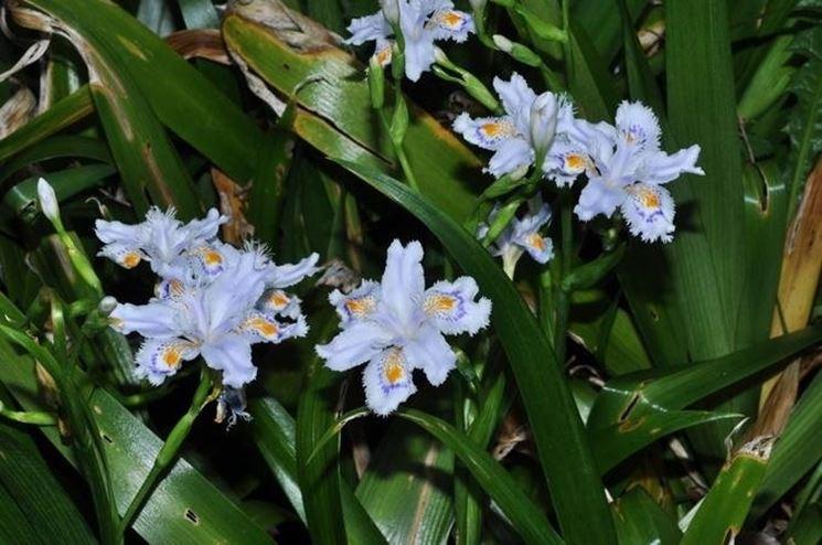 Un esemplare di iris japonica