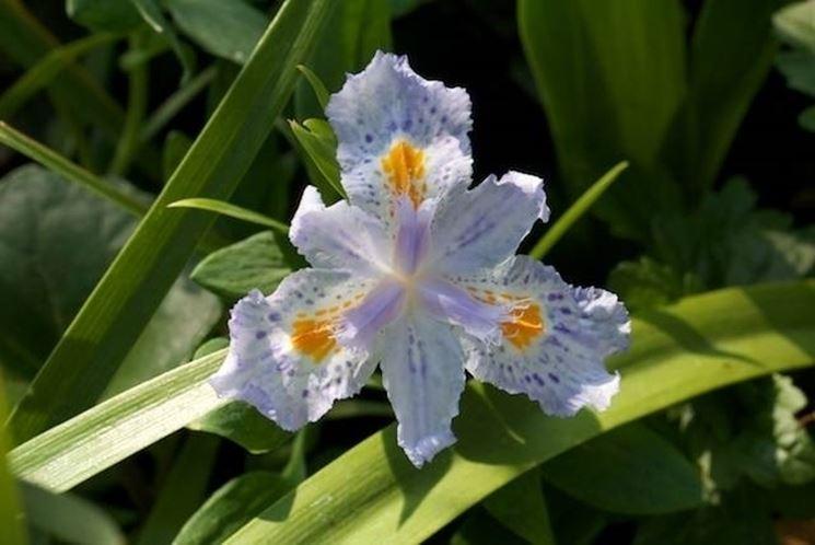 Un esempio di fiore di iris japonica