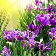 iris pianta