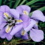 iris fiori