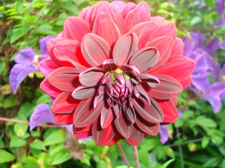 Dalia in fiore