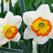 fiori di narciso