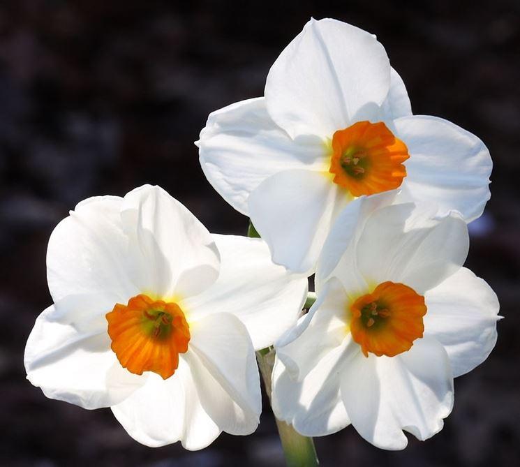 Fiore di Narcissus Geranium
