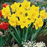 narcisi fiori
