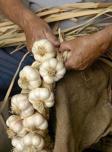 Piantare aglio bulbi consigli per piantare l 39 aglio for Quando piantare l aglio