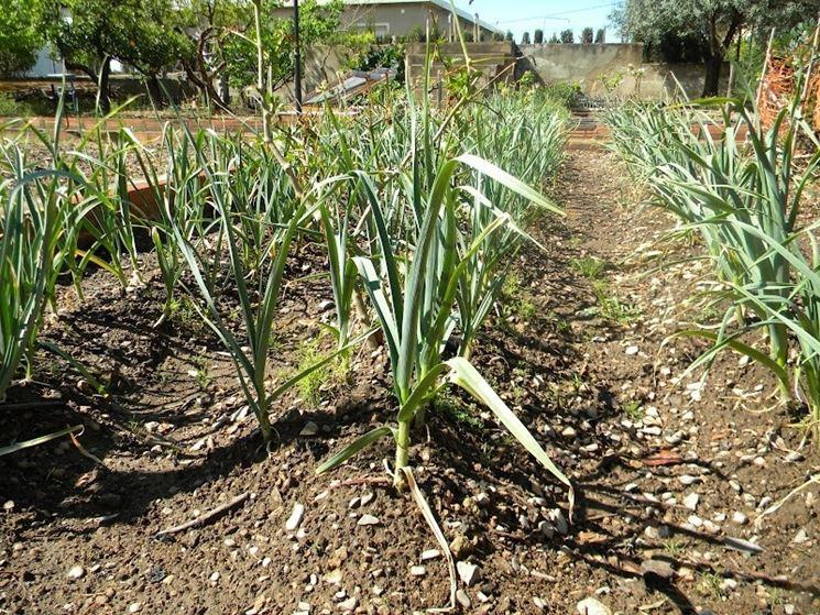 Filari di aglio su terreno asciutto e ben drenato