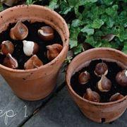 bulbi tulipano in vaso