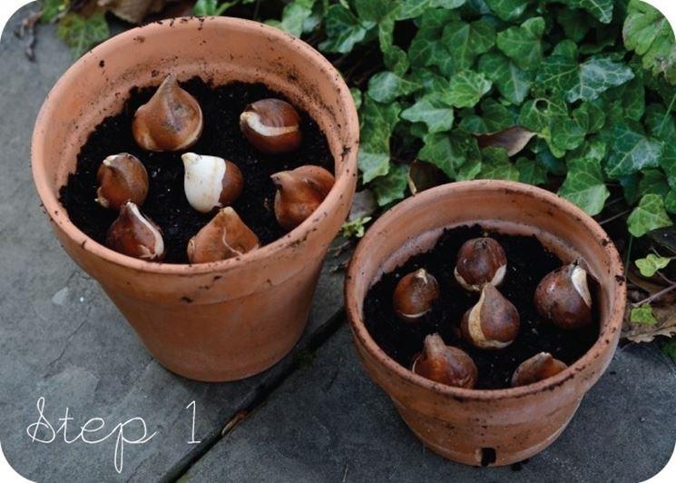 piantare bulbi tulipani bulbi piantare bulbi di tulipani