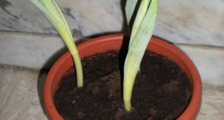 Bulbi di tulipani germogliati