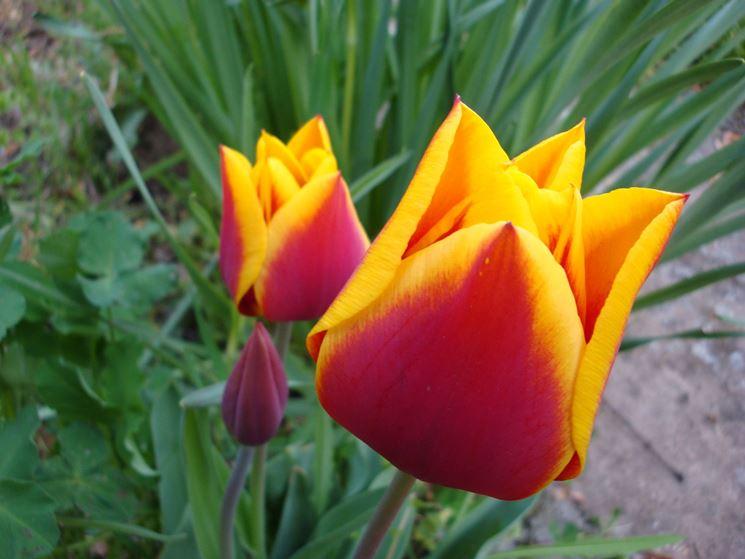 Stupendi tulipani bicolori