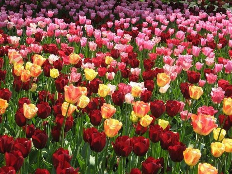Piantagione di tulipani