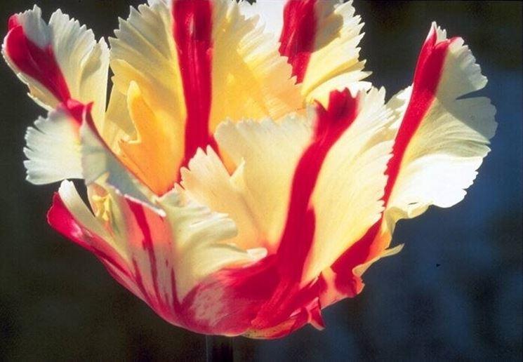 Esemplare di tulipano variegato