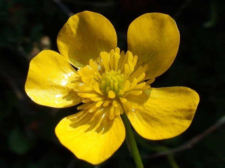 Ranunculus bulbosus, una specie spontanea molto comune in Italia