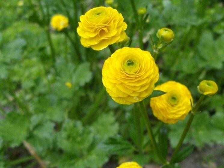 Ranunculus acris variet�