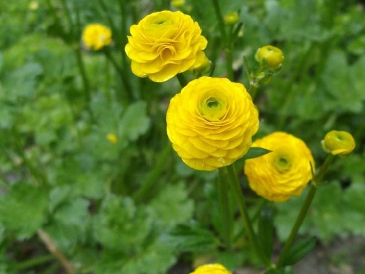 Ranunculus acris varietà