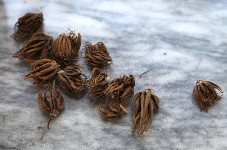 Radici tuberose di Ranunculus