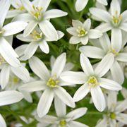 Stelle di Betlemme in fiore