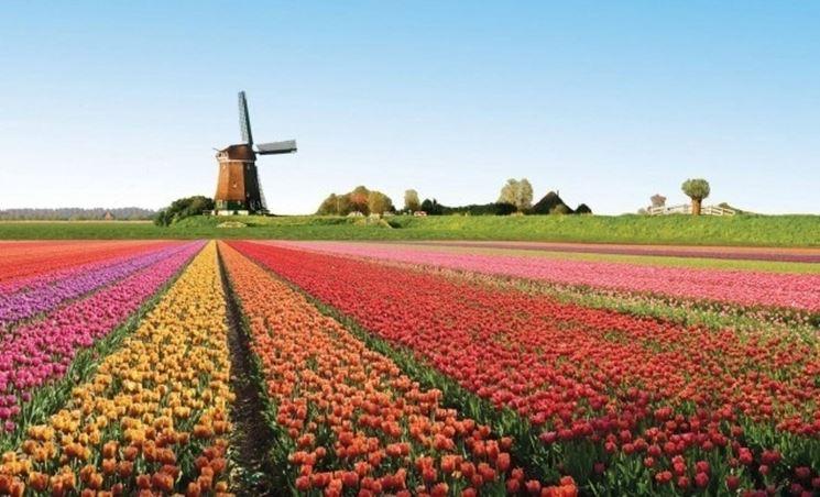 Olanda: coltivazione di tulipani