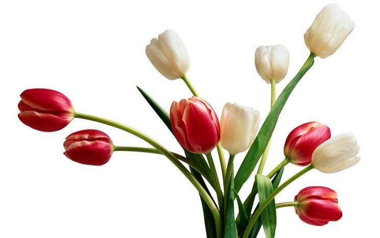 Tulipani rossi e bianchi