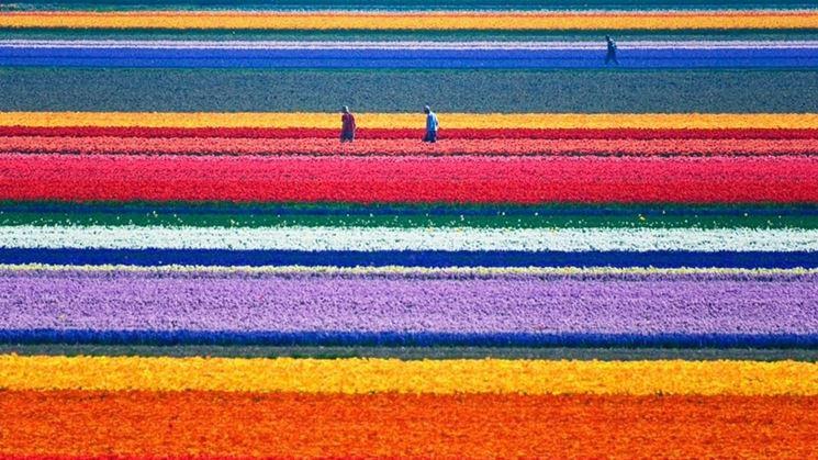 Bellissima distesa di tulipani