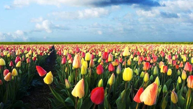 Campo di tulipani olandesi