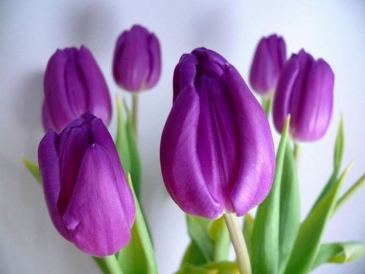 tulipani-1