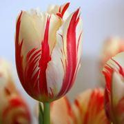 bulbi tulipani