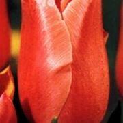 le piante come il tulipano