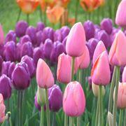 tulipano nero fiore