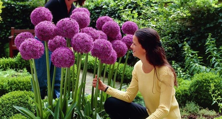 bulbi allium