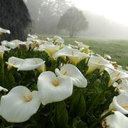 Esemplari di Zantedeschia aethiopica in piena fioritura