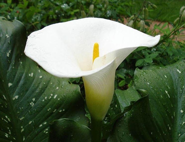 Infiorescenza di Zantedeschia aethiopica