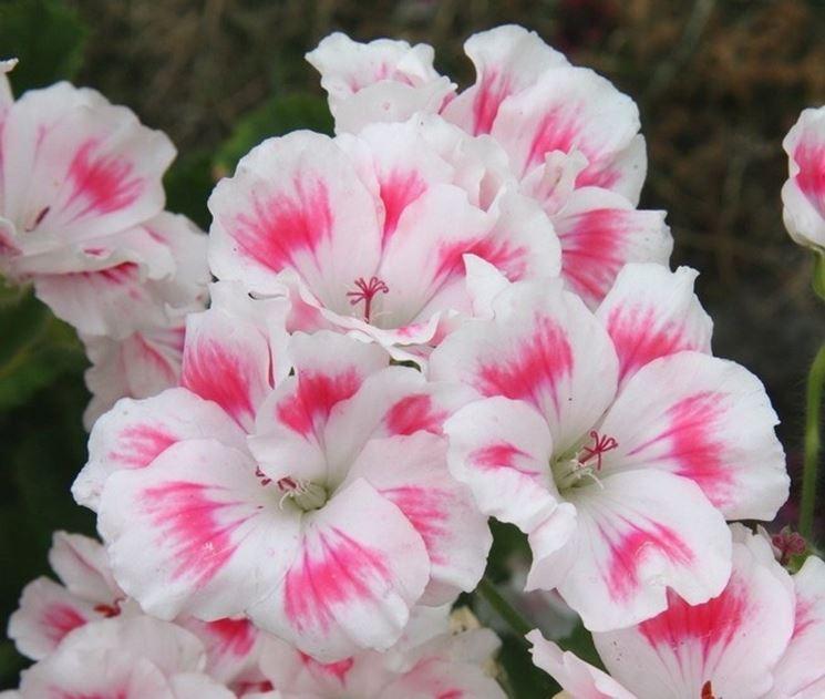 Geranio bianco con sfumature rosa