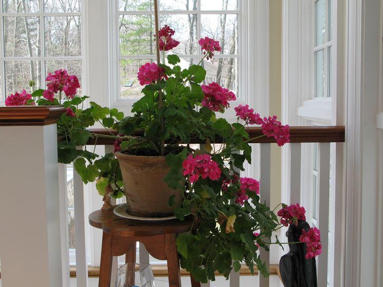ripiantare le radici di geranio in primavera