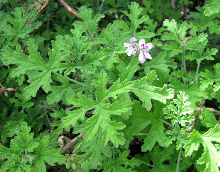 Fiori e foglie del Pelargonium odoratissimum