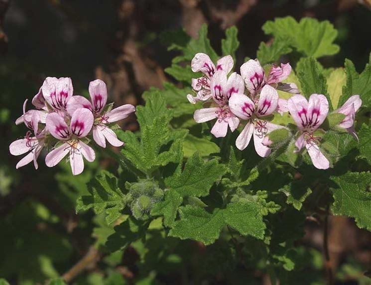 Piante di Pelargonium radula