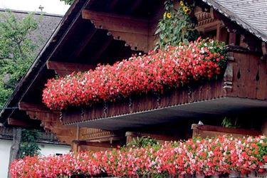 Gerani parigini sul balcone