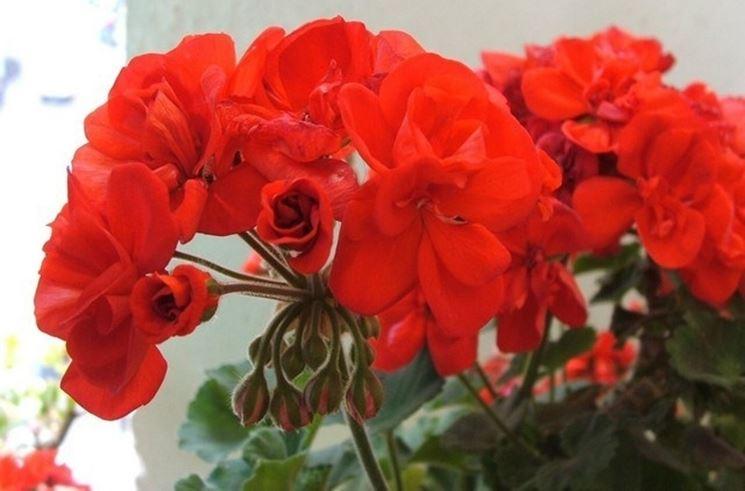 Dettaglio geranio rosso