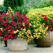 Vaso di gerani fioriti
