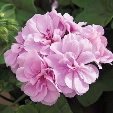 Bellissimo fiore di geranio imperiale