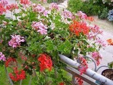 gerani edera in fiore