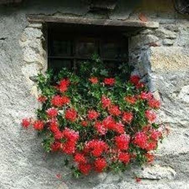 Gerani  edera in fiore su finestra