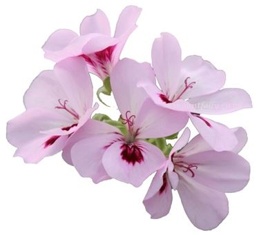 Fiori di geranio odoroso color lilla