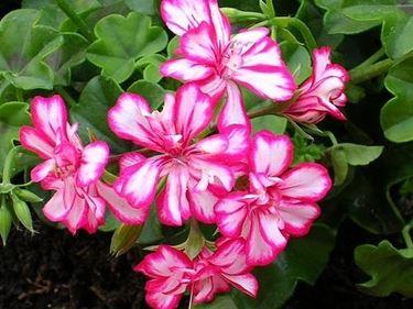 Geranio parigino in fioritura
